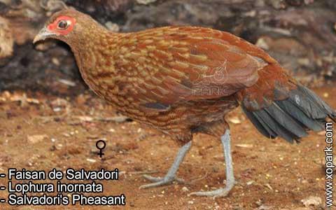 Faisan de Salvadori – Lophura inornata – Salvadori's Pheasant – xopark1