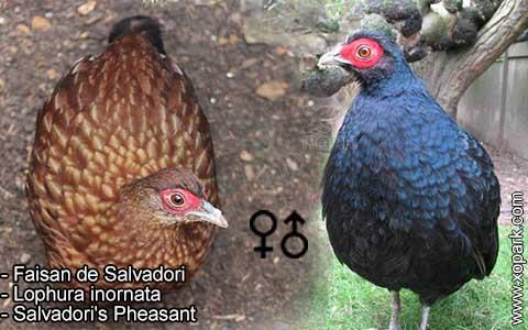 Faisan de Salvadori – Lophura inornata – Salvadori's Pheasant – xopark3