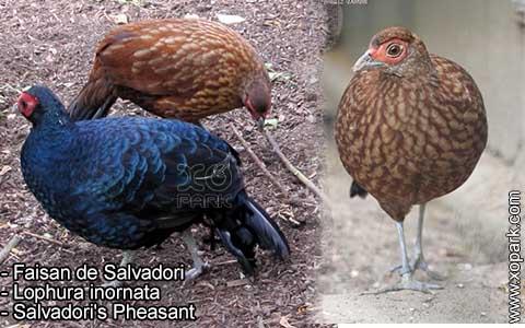 Faisan de Salvadori – Lophura inornata – Salvadori's Pheasant – xopark5