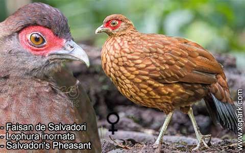 Faisan de Salvadori – Lophura inornata – Salvadori's Pheasant – xopark6