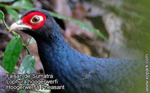 Faisan de Sumatra – Lophura hoogerwerfi – Hoogerwerf's Pheasant – xopark1