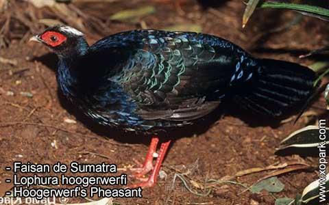 Faisan de Sumatra – Lophura hoogerwerfi – Hoogerwerf's Pheasant – xopark2