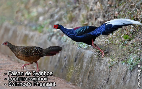 Faisan de Swinhoe – Lophura swinhoii – Swinhoe's Pheasant – xopark6