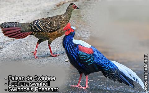 Faisan de Swinhoe – Lophura swinhoii – Swinhoe's Pheasant – xopark8