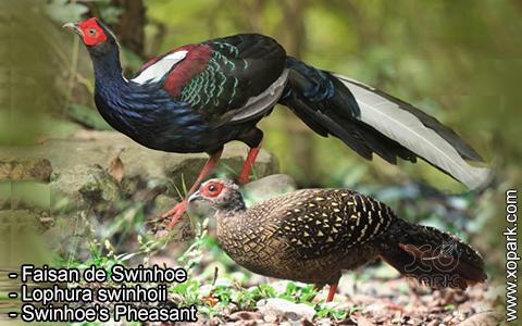 Faisan de Swinhoe – Lophura swinhoii – Swinhoe's Pheasant – xopark9