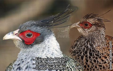 Faisan de Wallich – Catreus wallichii – Cheer Pheasant – xopark1