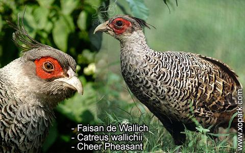 Faisan de Wallich – Catreus wallichii – Cheer Pheasant – xopark3