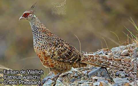 Faisan de Wallich – Catreus wallichii – Cheer Pheasant – xopark4