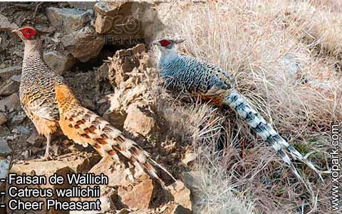Faisan de Wallich – Catreus wallichii – Cheer Pheasant – xopark5