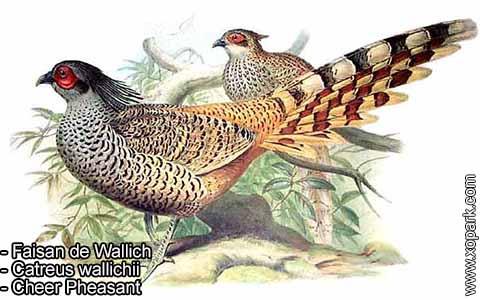 Faisan de Wallich – Catreus wallichii – Cheer Pheasant – xopark6