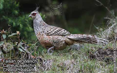 Faisan de Wallich – Catreus wallichii – Cheer Pheasant – xopark7