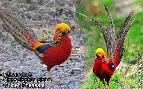 Faisan doré – Chrysolophus pictus – Golden Pheasant – xopark5