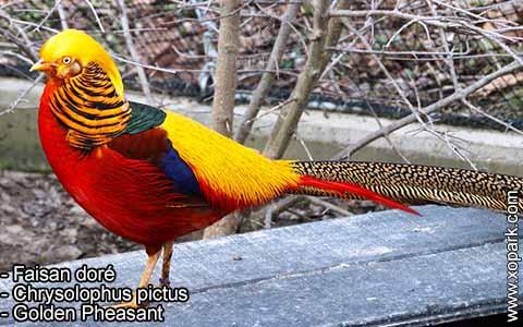 Faisan doré – Chrysolophus pictus – Golden Pheasant – xopark6