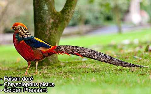 Faisan doré – Chrysolophus pictus – Golden Pheasant – xopark9