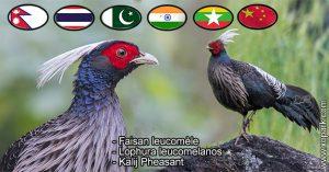 Faisan leucomèle Lophura leucomelanos Kalij Pheasant est une espèce des Faisans famille des Phasianidés (Phasianidae)
