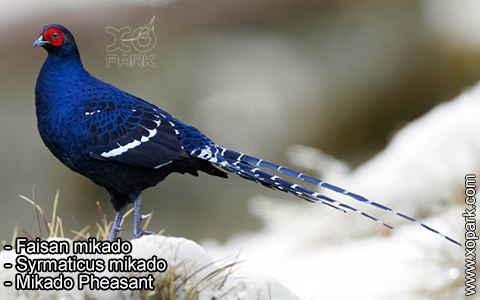 Faisan mikado – Syrmaticus mikado – Mikado Pheasant – xopark1