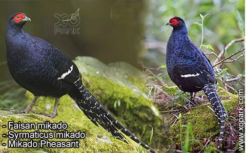 Faisan mikado – Syrmaticus mikado – Mikado Pheasant – xopark3
