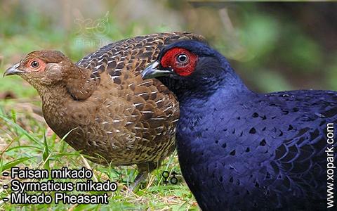 Faisan mikado – Syrmaticus mikado – Mikado Pheasant – xopark5