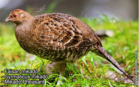 Faisan mikado – Syrmaticus mikado – Mikado Pheasant – xopark7