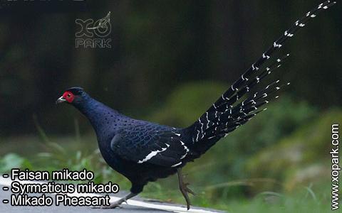 Faisan mikado – Syrmaticus mikado – Mikado Pheasant – xopark9