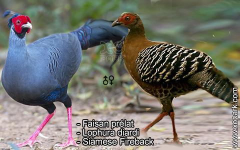 Faisan prélat – Lophura diardi – Siamese Fireback – xopark6