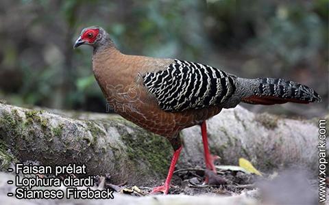 Faisan prélat – Lophura diardi – Siamese Fireback – xopark7