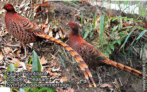 Faisan scintillant – Syrmaticus soemmerringii – Copper Pheasant – xopark3