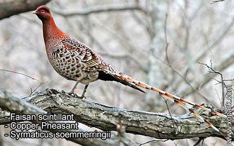 Faisan scintillant – Syrmaticus soemmerringii – Copper Pheasant – xopark4