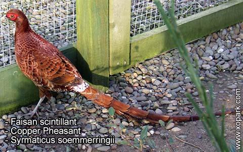 Faisan scintillant – Syrmaticus soemmerringii – Copper Pheasant – xopark5