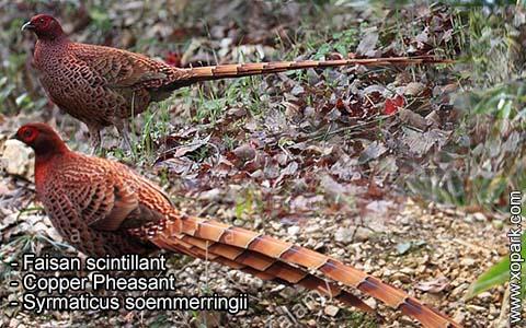 Faisan scintillant – Syrmaticus soemmerringii – Copper Pheasant – xopark7