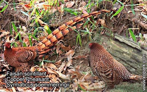 Faisan scintillant – Syrmaticus soemmerringii – Copper Pheasant – xopark8