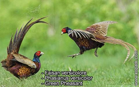 Faisan versicolore – Phasianus versicolor – Green Pheasant – xopark1