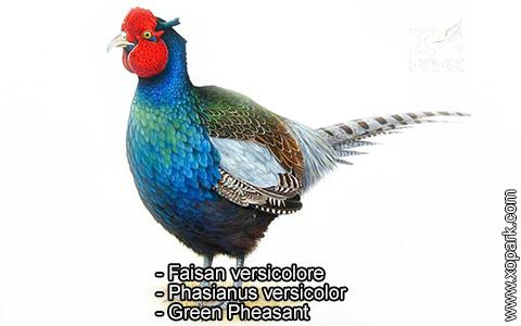 Faisan versicolore – Phasianus versicolor – Green Pheasant – xopark10