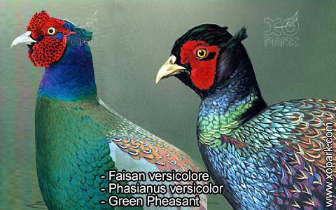 Faisan versicolore – Phasianus versicolor – Green Pheasant – xopark2