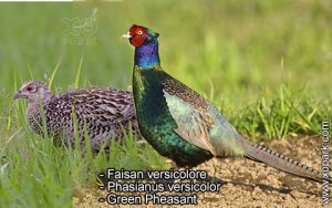 Faisan versicolore Phasianus versicolor Green Pheasant est une espèce des Faisans famille des Phasianidés (Phasianidae)