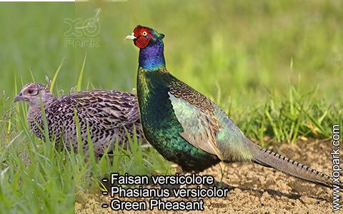 Faisan versicolore – Phasianus versicolor – Green Pheasant – xopark4