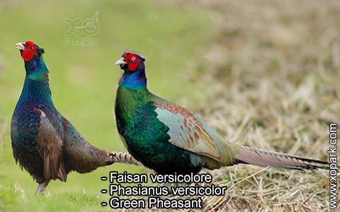 Faisan versicolore – Phasianus versicolor – Green Pheasant – xopark6