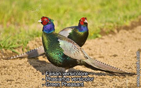 Faisan versicolore – Phasianus versicolor – Green Pheasant – xopark7