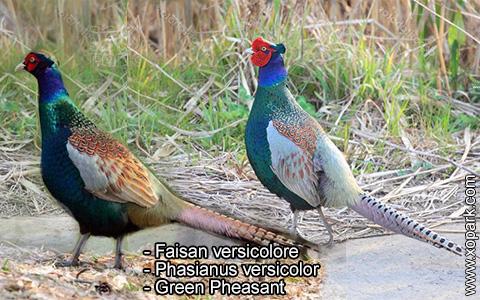 Faisan versicolore – Phasianus versicolor – Green Pheasant – xopark8