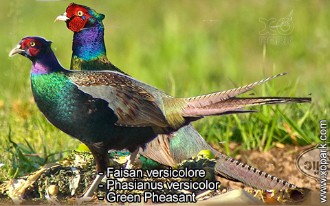 Faisan versicolore – Phasianus versicolor – Green Pheasant – xopark9