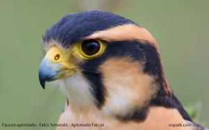 Faucon aplomado - Falco femoralis - Aplomado Falcon