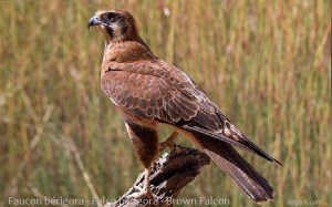 Faucon bérigora - Falco berigora - Brown Falcon