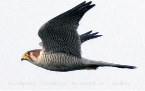Faucon chicquera - Falco chicquera - Red-necked Falcon