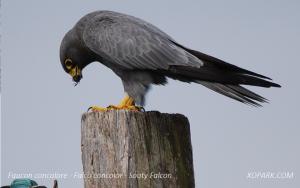 Faucon concolore - Falco concolor - Sooty Falcon