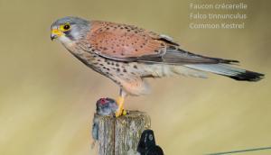 Faucon crécerelle - Falco tinnunculus - Common Kestrel