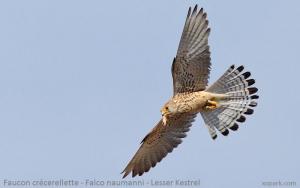 Faucon crécerellette - Falco naumanni - Lesser Kestrel