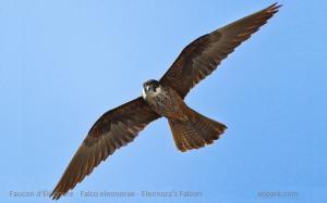 Faucon d'Éléonore - Falco eleonorae - Eleonora's Falcon