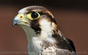 Faucon de Barbarie - Falco pelegrinoides - Barbary Falcon