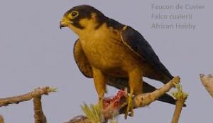 Faucon de Cuvier - Falco cuvierii - African Hobby