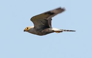 Faucon de Dickinson - Falco dickinsoni - Dickinson's Kestrel